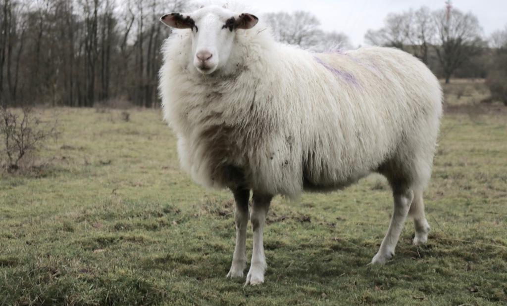 Das Schaf Josef steht auf einer Weide in Schleswig-Holstein.